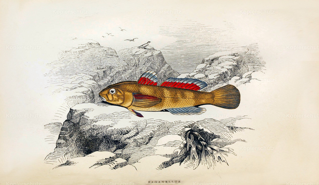 A-History-of-the -Fishes- of- the- British-Islands-Fische-1862-1866 (3)