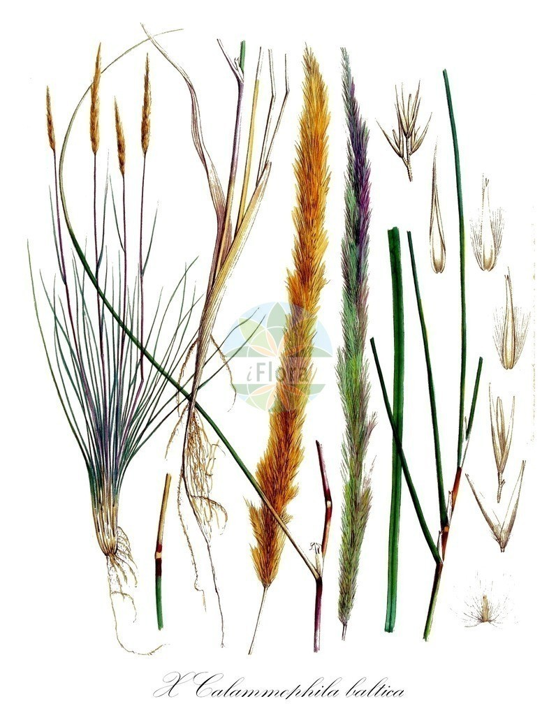 Historical drawing of X Calammophila baltica (Hybrid Marram) | Historical drawing of X Calammophila baltica (Hybrid Marram) showing leaf, flower, fruit, seed