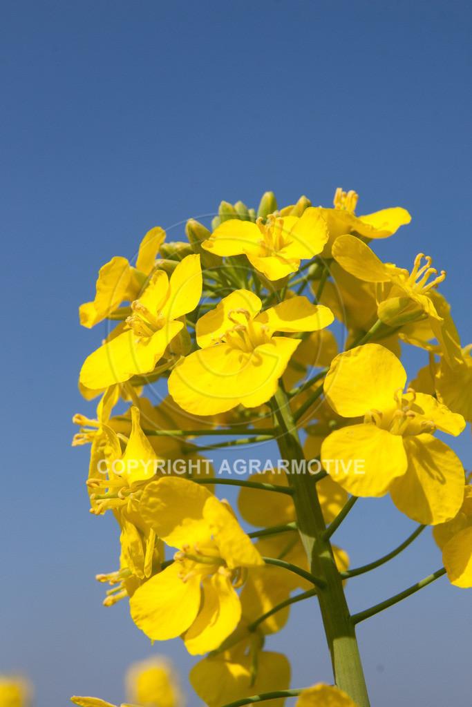 120407-151602 | Rapsblüten im Frühling - AGRARMOTIVE