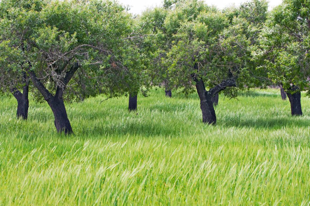 Familie 09  | Mandelbäume im Weizenfeld Muro, Mallorca