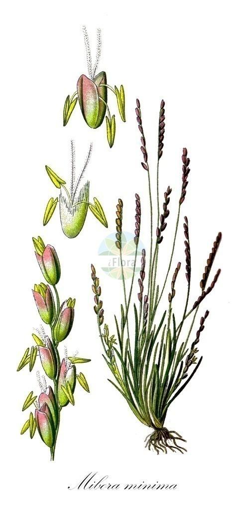 Historical drawing of Mibora minima (Early Sand-grass) | Historical drawing of Mibora minima (Early Sand-grass)