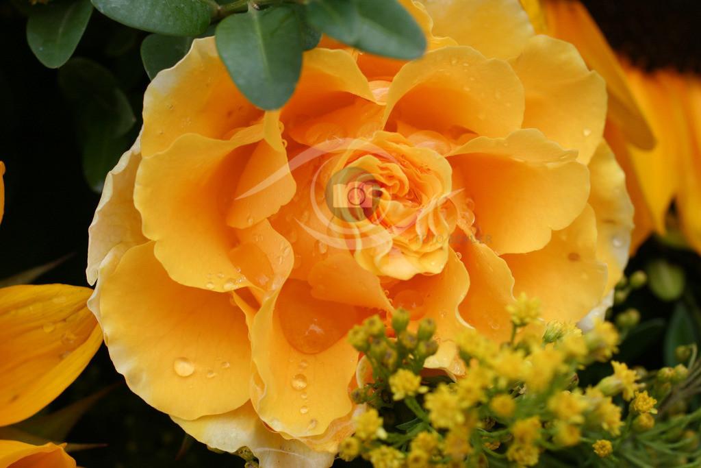 Rose (25)