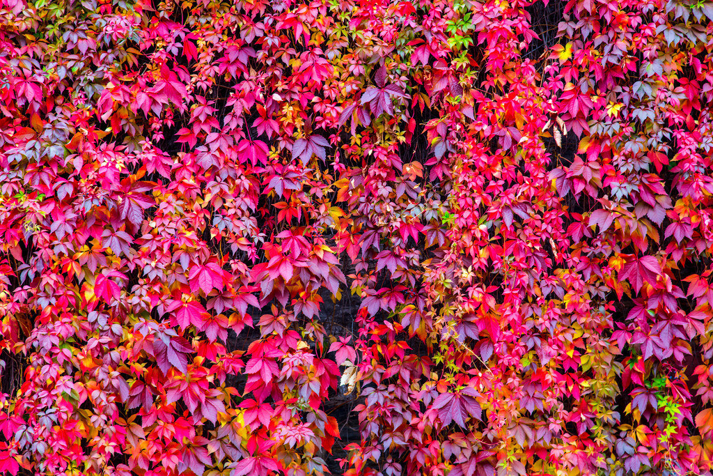 JT-151005-128 | Rotes Efeu Laub, in einem  Weinberg bei Bacharach,
