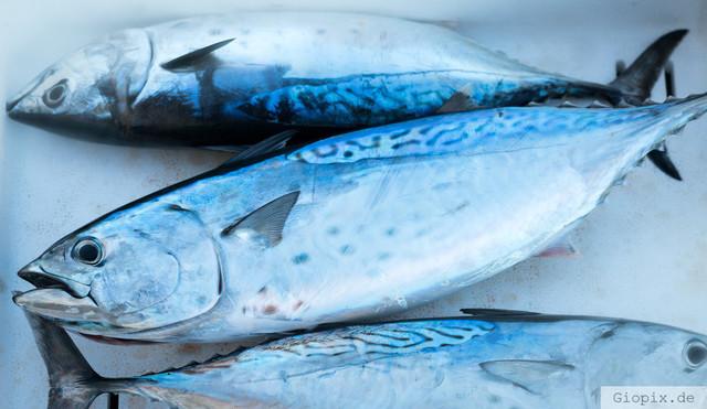Frischer Tunfisch  | Fangfrischer Tunfisch von einem Fischer an der sizilianischen Ostküste