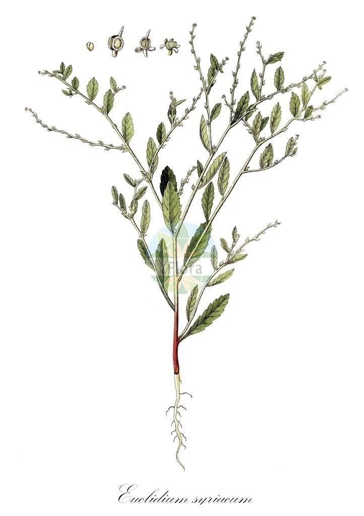 Historical drawing of Euclidium syriacum   Historical drawing of Euclidium syriacum showing leaf, flower, fruit, seed