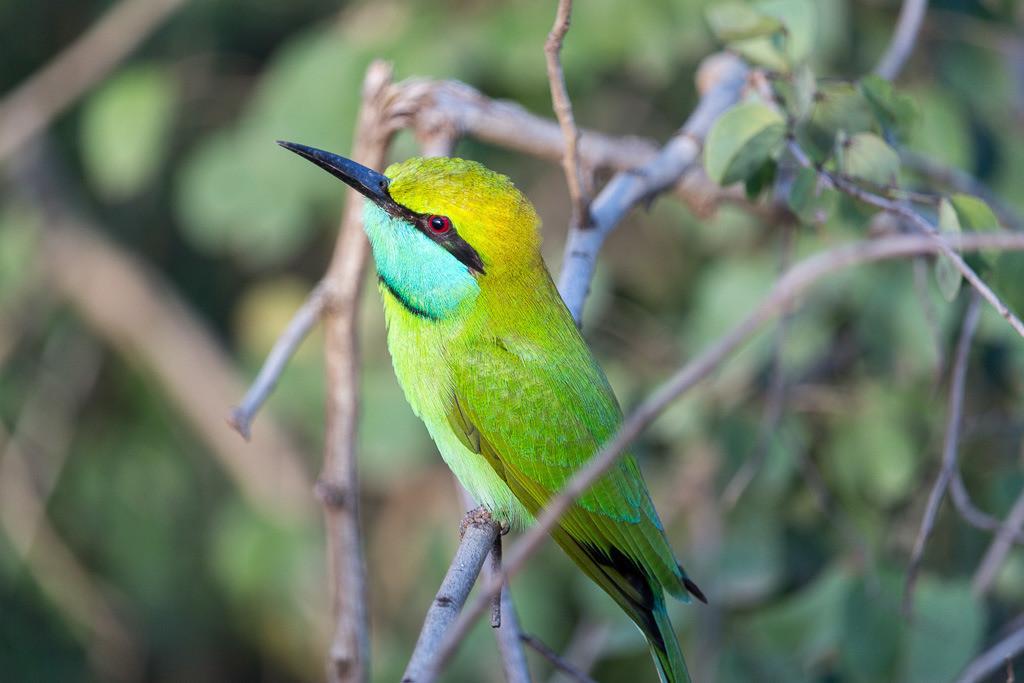 Bienenfresser Nr. 2 | Bea Eater Sri Lanka #BeaEater #Bird #SriLanka