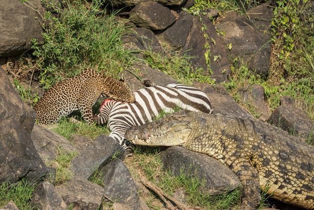 Leopardattacke und Attacke des Krokodils | Durch die glatten Felsen hat das Krokodil keine Chance näher an das tote Zebra heran zu kommen. Derweil frisst sich der Leopard genüsslich satt.