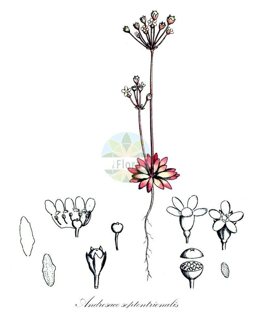 Historical drawing of Androsace septentrionalis (Northern Androsace) | Historical drawing of Androsace septentrionalis (Northern Androsace) showing leaf, flower, fruit, seed