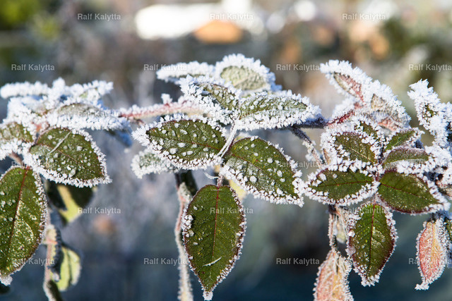 Plants with frosted seeds | Image shows plants with hoarfrost in the sun