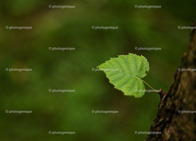 herzförmiges grünes Blatt am Stamm | ein einzelnes grünes herz-förmiges Blatt an einem Stamm vor einem grünen Hintergrund bei Tageslicht