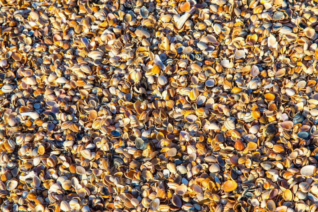 JT-161016-379 | Viele kleine Muscheln am Strand, Nordsee,