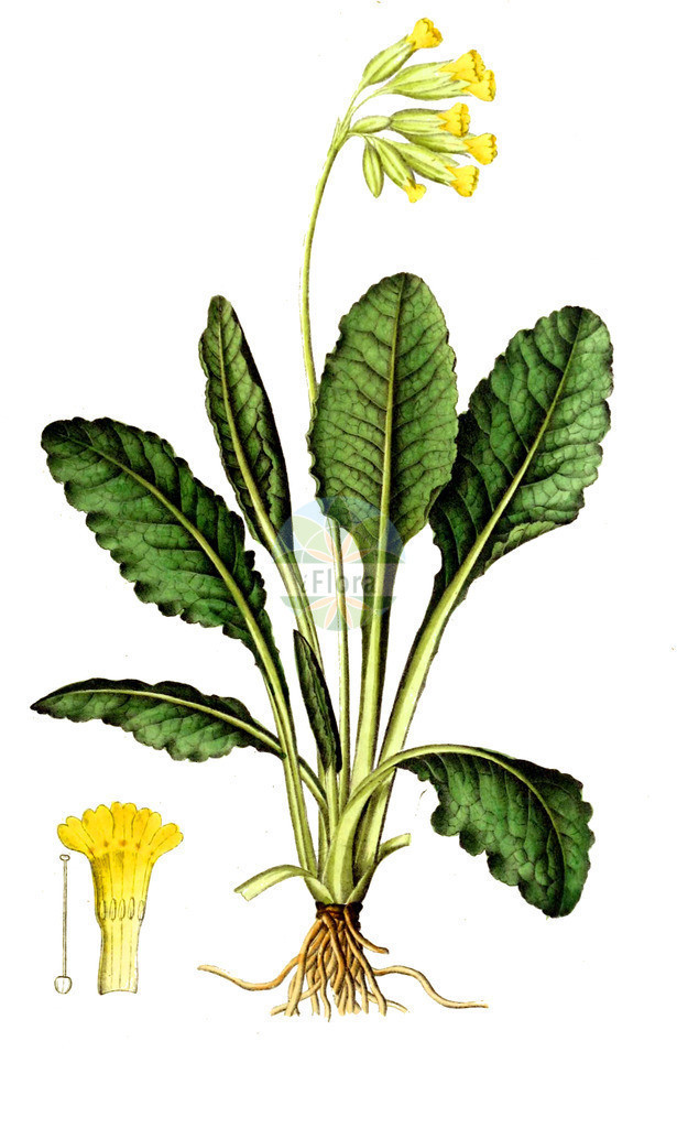 Primula veris (Echte Schluesselblume - Cowslip) | Historische Abbildung von Primula veris (Echte Schluesselblume - Cowslip). Das Bild zeigt Blatt, Bluete, Frucht und Same. ---- Historical Drawing of Primula veris (Echte Schluesselblume - Cowslip).The image is showing leaf, flower, fruit and seed.