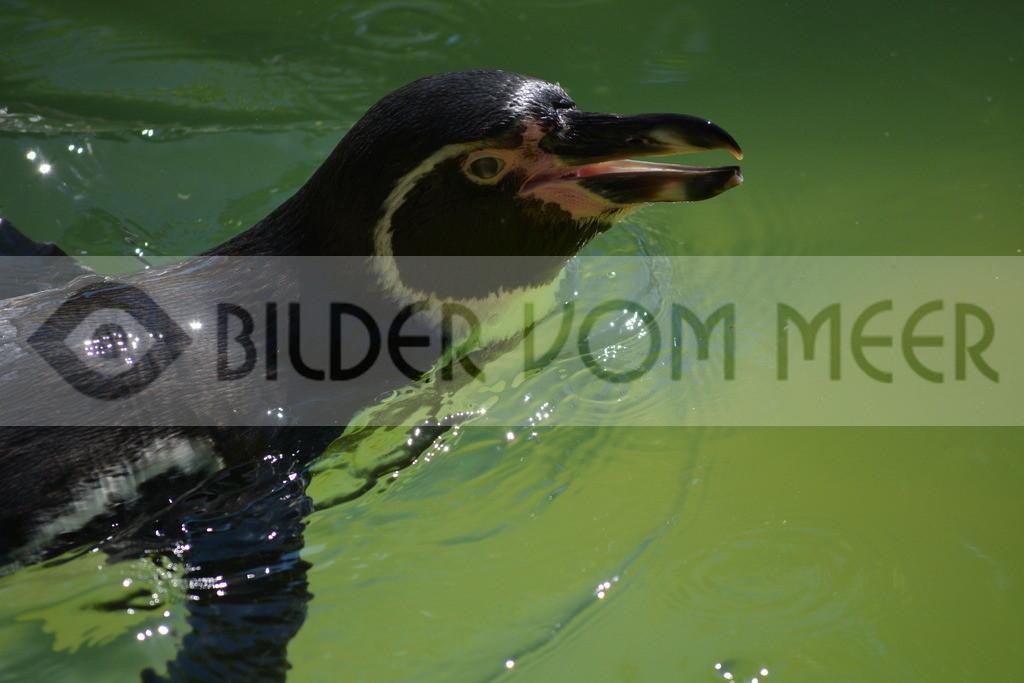 Pinguine Bilder | Foto Pinguin Bild aus Italien