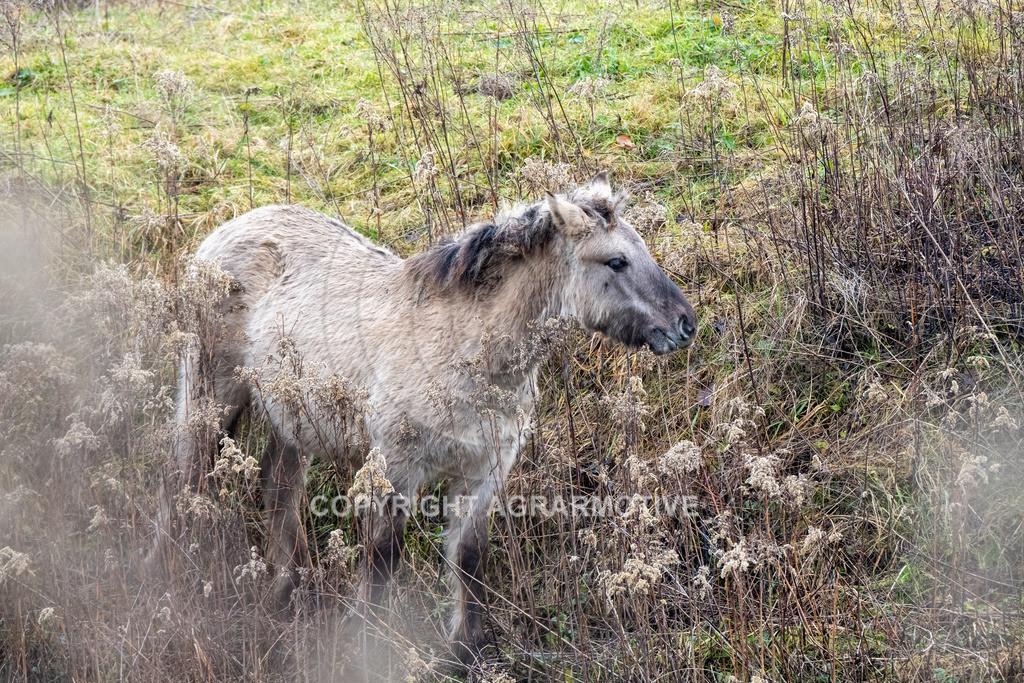 20210110-DSCF5561 | Konik Wildpferde werden in Naturschutzgebiet Emsaue zur Landschaftspflege eingesetzt