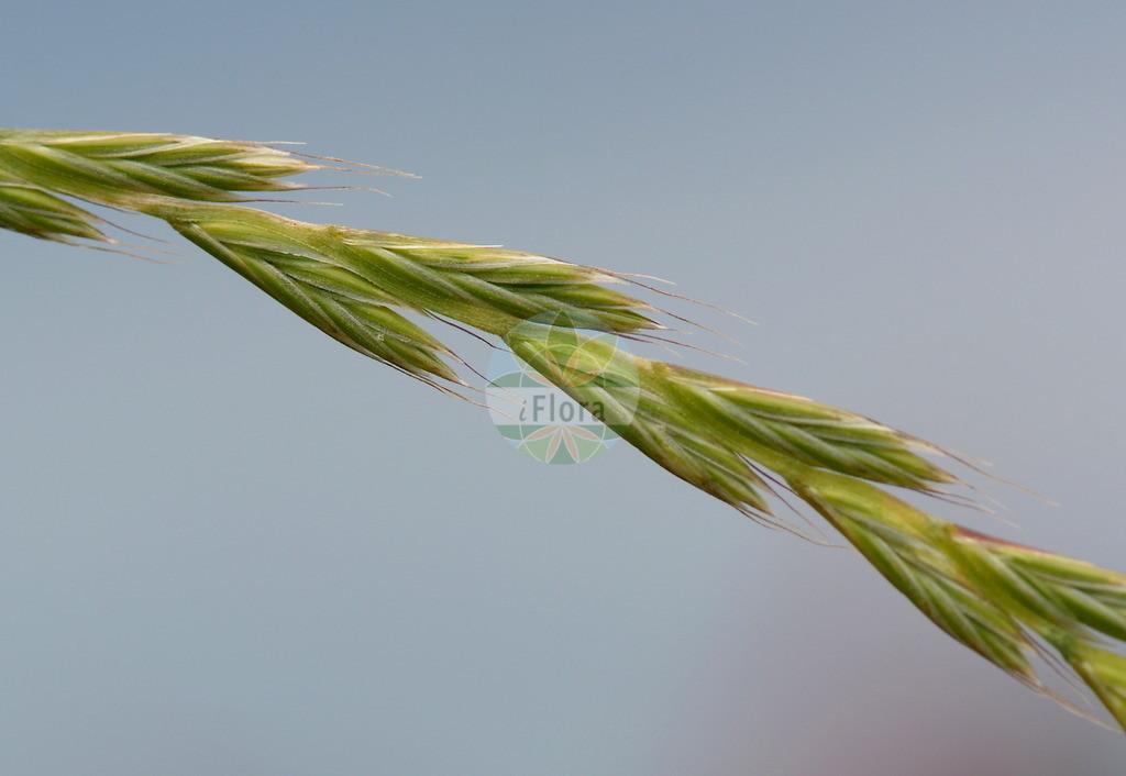 Lolium multiflorum (Vielbluetiges Weidelgras - Italian Rye-grass)   Foto von Lolium multiflorum (Vielbluetiges Weidelgras - Italian Rye-grass). Das Bild zeigt Bluete und Frucht. Das Foto wurde in Frankfurt, Hessen, Deutschland, Oberrheinisches Tiefland und Rhein-Main-Ebene aufgenommen. ---- Photo of Lolium multiflorum (Vielbluetiges Weidelgras - Italian Rye-grass).The image is showing flower and fruit.The picture was taken in Frankfurt, Hesse, Germany, Oberrheinisches Tiefland and Rhein-Main-Ebene.