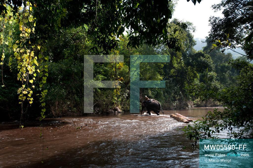 MW05590-FF | Laos | Provinz Sayaboury | Reportage: Arbeitselefanten in Laos | Arbeitselefant zieht Baumstämme aus dem Dschungel. Lane Xang -