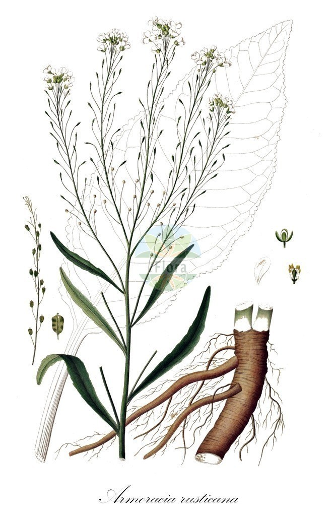 Historical drawing of Armoracia rusticana (Horse-radish) | Historical drawing of Armoracia rusticana (Horse-radish) showing leaf, flower, fruit, seed