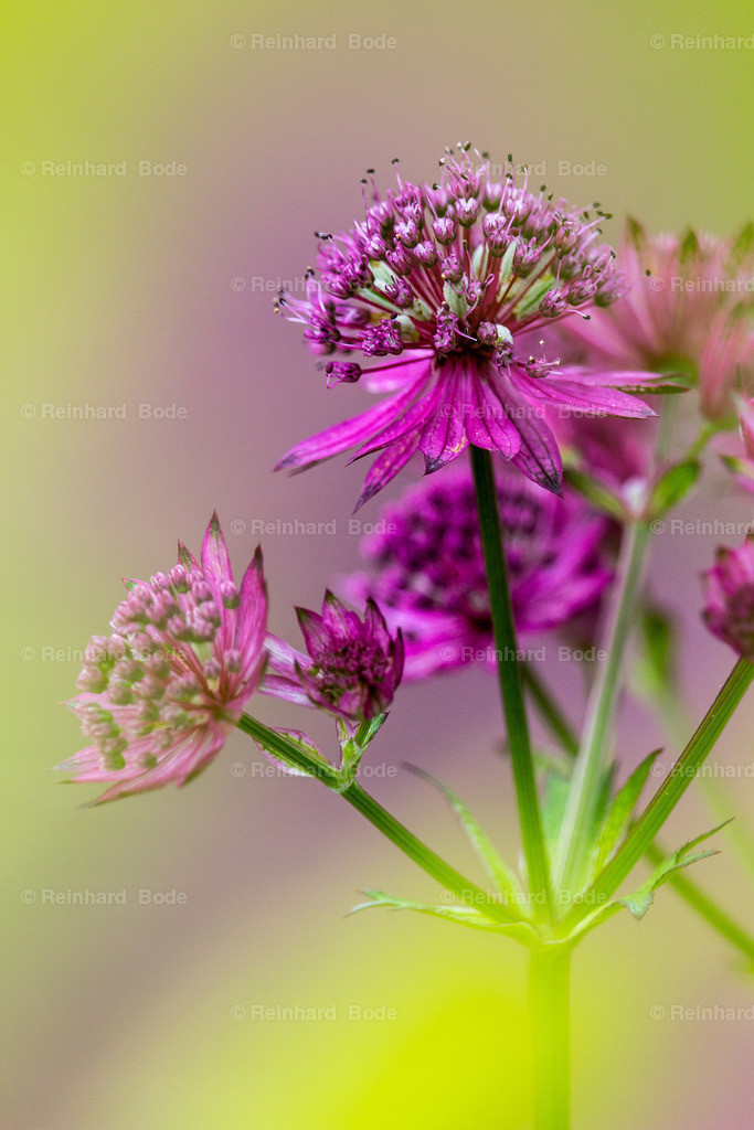 Sterndolde | Astrantia major, Sterndolde, Münster, Deutschland