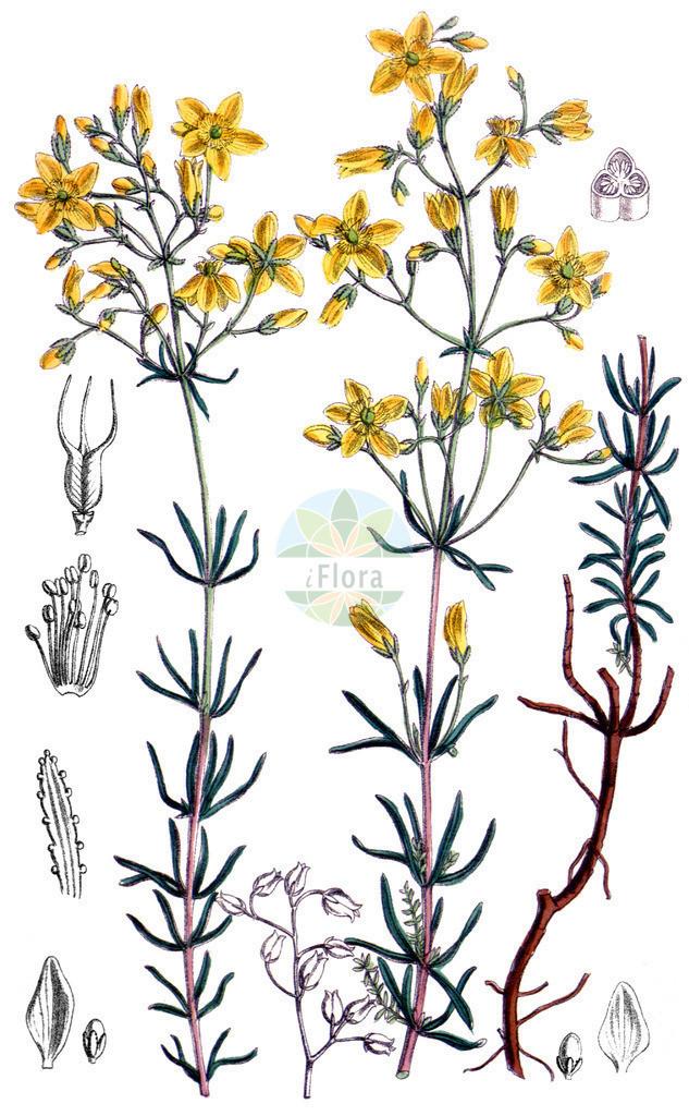 Hypericum coris   Historische Abbildung von Hypericum coris. Das Bild zeigt Blatt, Bluete, Frucht und Same. ---- Historical Drawing of Hypericum coris.The image is showing leaf, flower, fruit and seed.