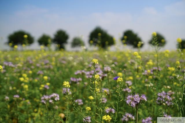 Wildblumen in Kleinenbroich | Ein Feld mit Wildblumen in Kleinenbroich