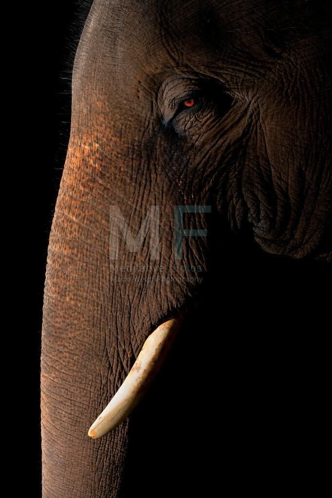 Portrait Elefant | Portrait eines Asiatischen Elefanten