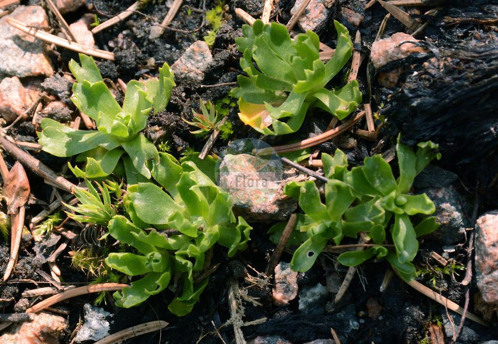 Primula minima (Zwerg-Schluesselblume - Dwarf Primrose) | Foto von Primula minima (Zwerg-Schluesselblume - Dwarf Primrose). Das Foto wurde in Dresden, Sachsen, Deutschland aufgenommen. ---- Photo of Primula minima (Zwerg-Schluesselblume - Dwarf Primrose).The picture was taken in Dresden, Sachsen, Germany.