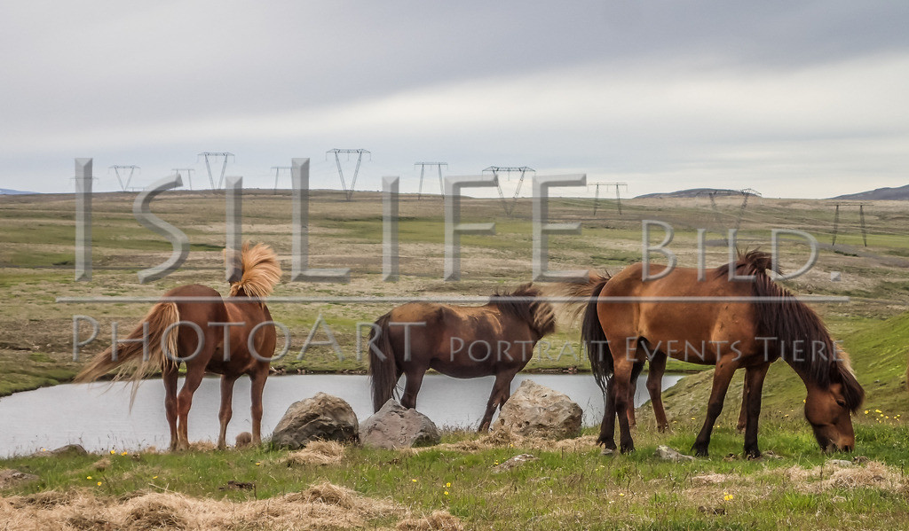 Islandpferde | Island