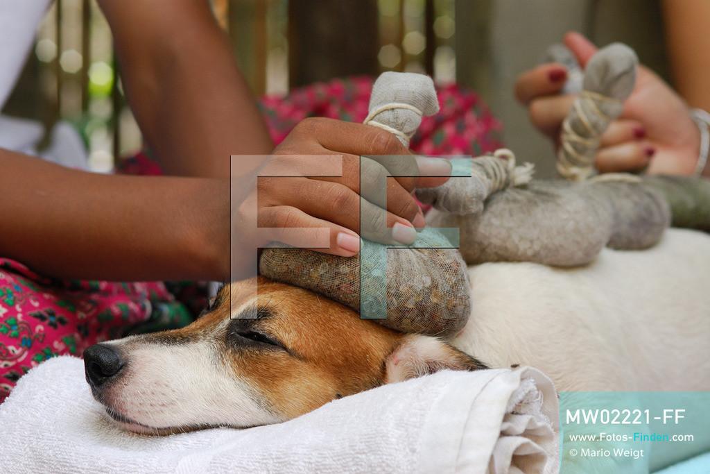 MW02221-FF | Thailand | Bangkok | Reportage: Wellness für Hunde | Das Indo Thai Dog Spa wird von Herrn Jare Jansrisuriyawong geführt. Er bietet verschiedene Blütenbäder, Steinmassagen und Kräuterbehandlungen für Herrchens und Frauchens Liebling an. Jack Russell Terrier Lucky erhält eine Massage mit warmen Stempeln.   ** Feindaten bitte anfragen bei Mario Weigt Photography, info@asia-stories.com **