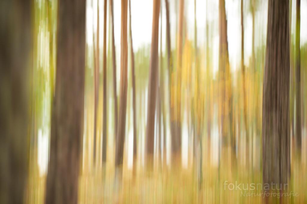 Herbst im Kiefernwald | Stimmungsvolles Bild eines Herbsttages im Kiefernwald.