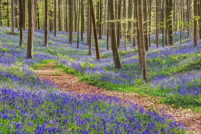 Im blauen Wald | Ein Weg durch den blauen Hallerbos in Belgien. Im Frühling ist der Waldboden an vielen Stellen vollflächig mit den blau blühenden Hasenglöckchen bedeckt. Für einen kurzen Moment schafft es die Sonne durch die Wolken und taucht die Szene in ein wunderbares Licht.