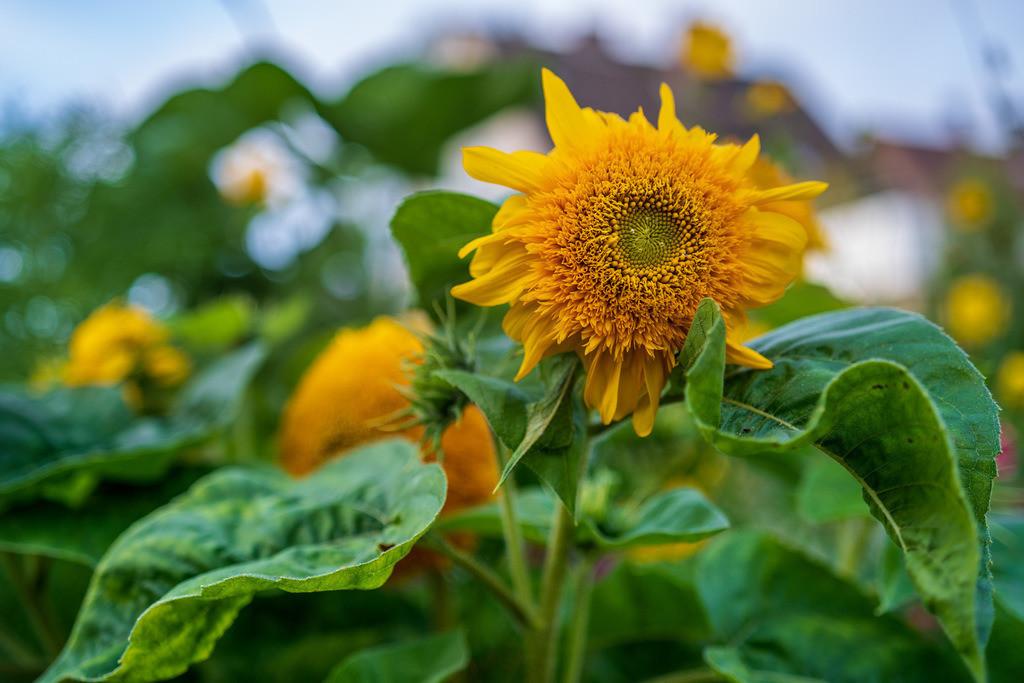 Sonnenblume   Blüte einer gelben Sonnenblume.