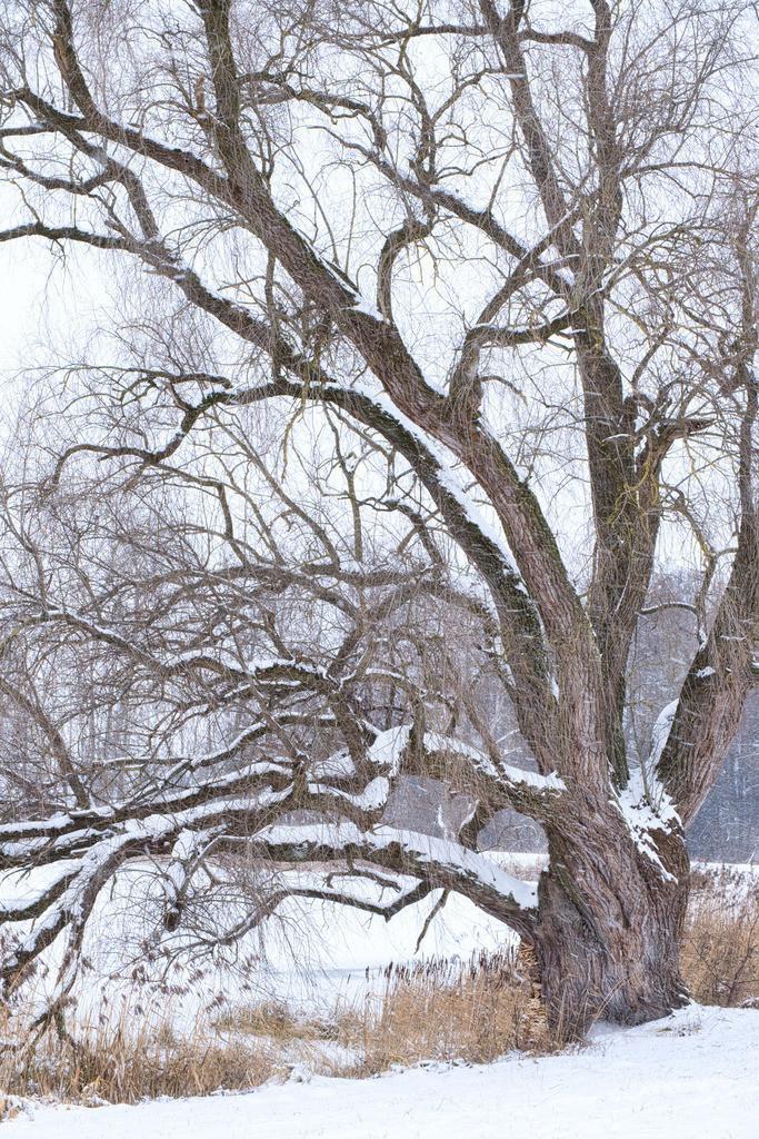 Ol' Oak Tree 2