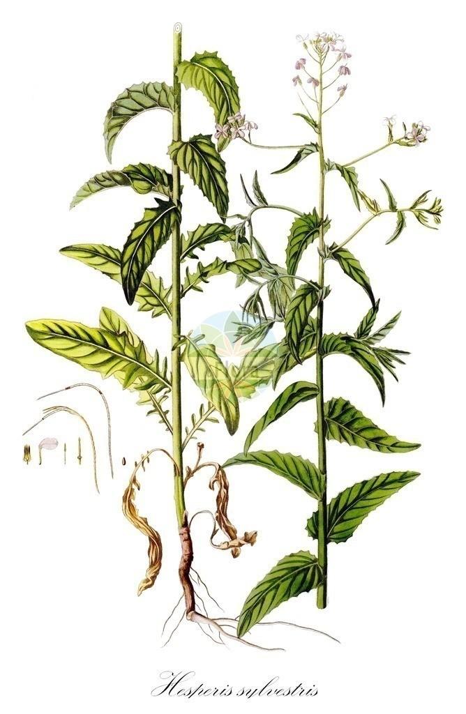 Historical drawing of Hesperis sylvestris (Rocket)   Historical drawing of Hesperis sylvestris (Rocket) showing leaf, flower, fruit, seed