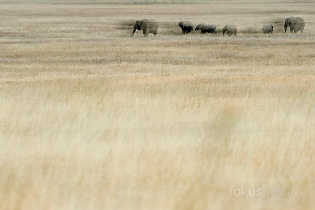 Elefanten im Serengeti Nationalpark   Elefanten auf Wanderschaft durch den Serengeti Nationalpark.