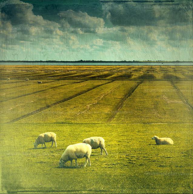 Schafe am Süderhafen