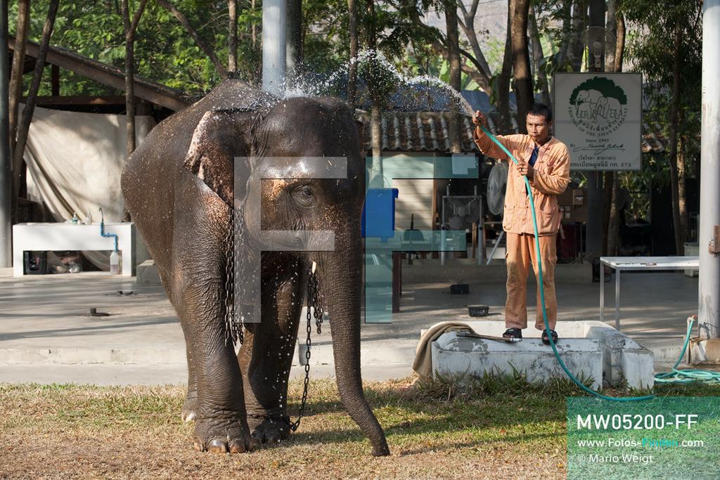 MW05200-FF   Thailand   Lampang   Reportage: Krankenhaus für Elefanten   Ein Tierpfleger duscht die schwangere Elefantenkuh Noi.  ** Feindaten bitte anfragen bei Mario Weigt Photography, info@asia-stories.com **