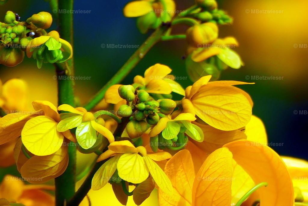 P1000701 | Strahlend gelb blühender Cassia (Senna spectabilis)