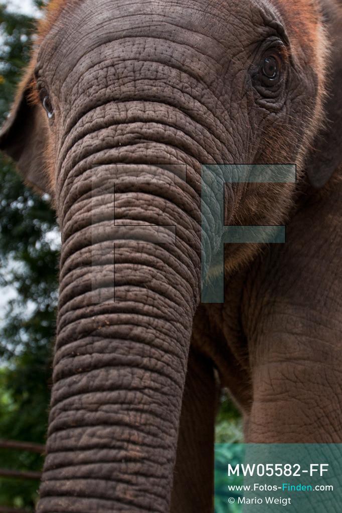 MW05582-FF   Thailand   Lampang   Reportage: Krankenhaus für Elefanten   Elefantenbaby Dantae ist acht Monate alt.   ** Feindaten bitte anfragen bei Mario Weigt Photography, info@asia-stories.com **