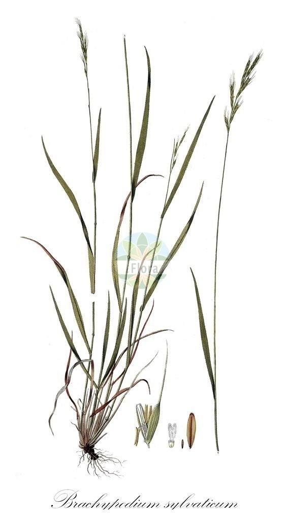 Historical drawing of Brachypodium sylvaticum (False Brome) | Historical drawing of Brachypodium sylvaticum (False Brome) showing leaf, flower, fruit, seed