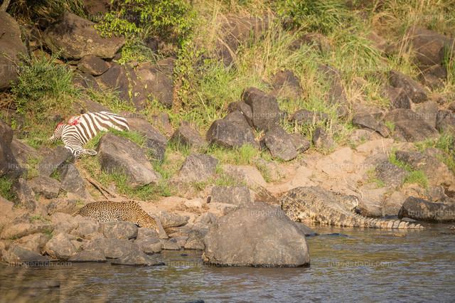 Leopardattacke und Attacke des Krokodils   Direkt neben dem Krokodil und in der Nähe des erlegten Zebras trinkt der Leopard.