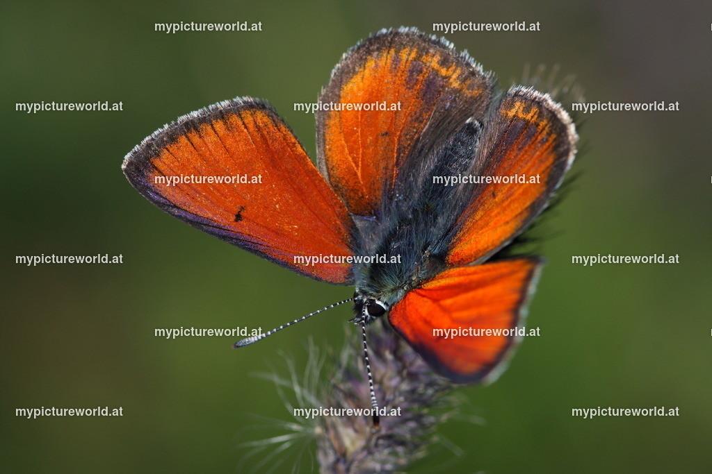 Lycaena hippothoe-010