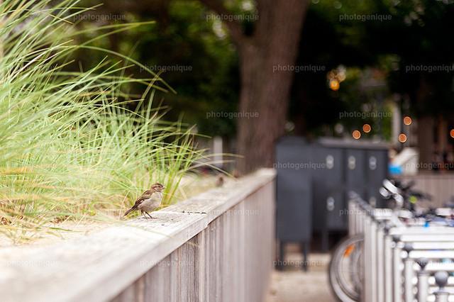 Spatz | Ein Spatz sitzt an der Uferpromenade in Binz