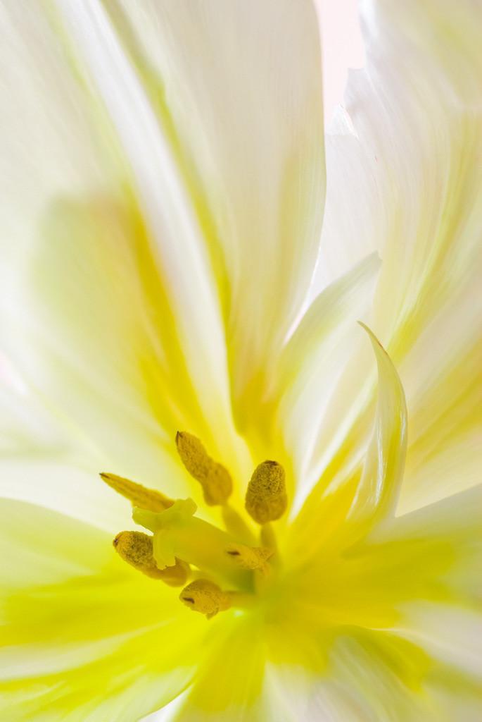 Best. Nr. Blütenpracht03 | Tulpe