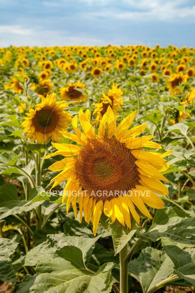 20090711-IMG_3781 | blühende Sonnenblumen im Sommer - AGRARMOTIVE Bilder aus der Landwirtschaft