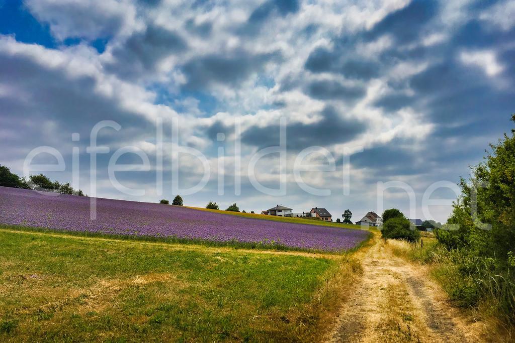 Tettscheid: Wolkentanz über lila Feldern | Landschaft mit interessanter Wolkenformation und lila blühenden Phacelia Feldern vor dem idyllischen Eifeldorf Tettscheid bei Üdersdorf