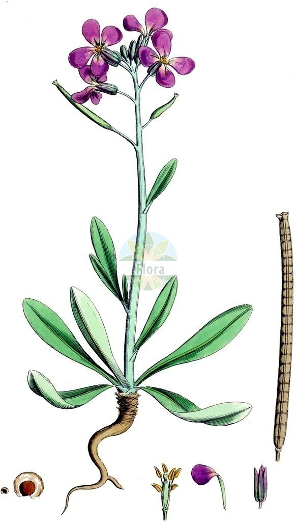 Matthiola incana   Historische Abbildung von Matthiola incana. Das Bild zeigt Blatt, Bluete, Frucht und Same. ---- Historical Drawing of Matthiola incana.The image is showing leaf, flower, fruit and seed.