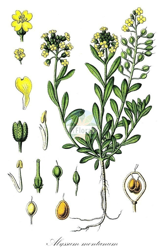 Historical drawing of Alyssum montanum (Mountain Alison) | Historical drawing of Alyssum montanum (Mountain Alison) showing leaf, flower, fruit, seed