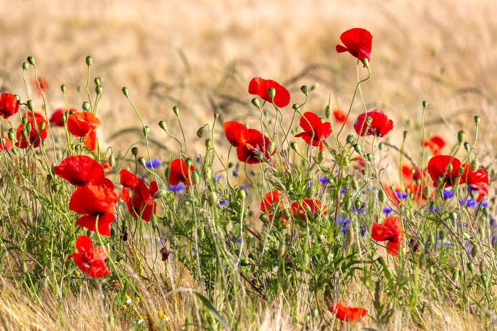 Kappeln an der Schlei | Mohnblumen im Kornfeld
