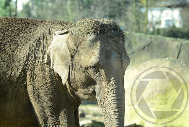 20180218-Koeln-Zoo-Elefant-004