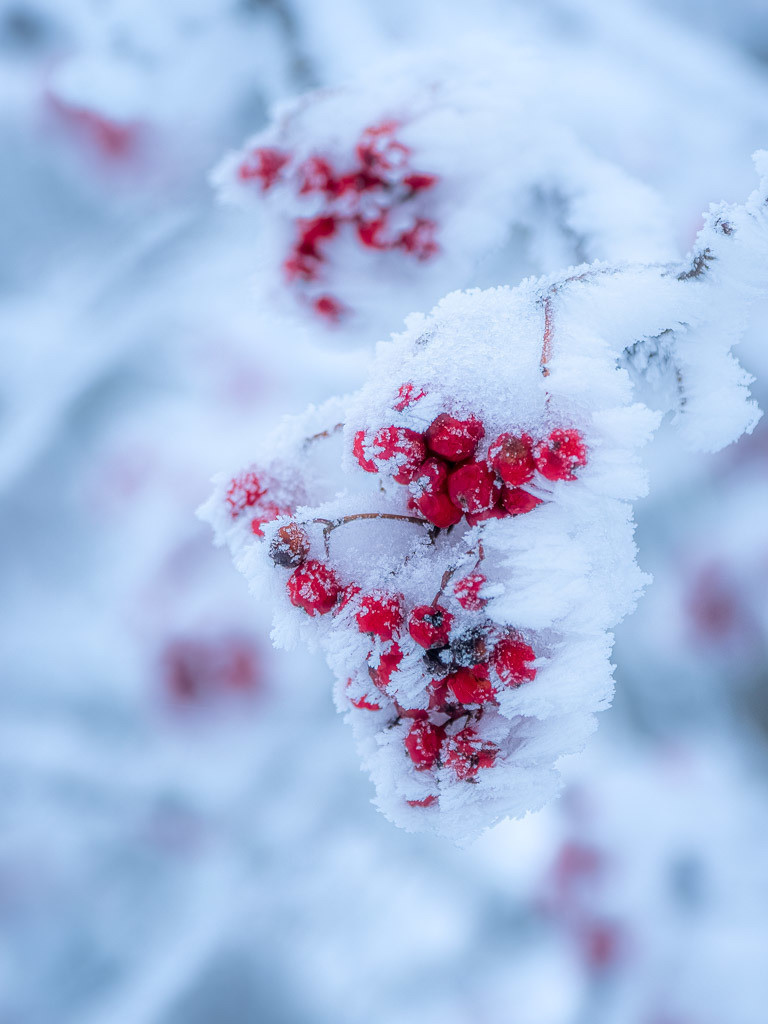 Frosted Red Berries | Rote Beeren im Winter